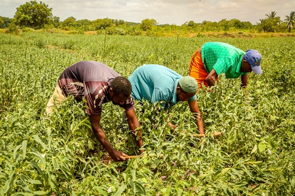 Coltivazione di sesamo, Somalia
