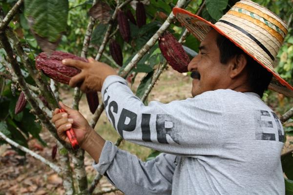 Raccolta del cacao, Ecuador