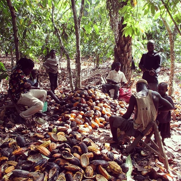 Piantagione di Cacao- Daloa, Costa D'Avorio